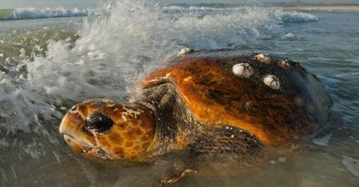 Fim da desova. Após fazer o ninho há mais de um ano, a tartaruga-cabeçuda volta para o mar na Ilha Masira, no Omã. A ilha é uma área importante para a espécie, ameaçada de extinção. Quando as tartarugas voltam ao mar, ainda devem escapar das redes de pesca