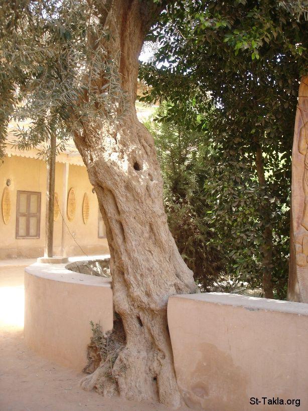St Takla Org Image A Stuck Tree No Growth Photo From Saint Mary El Baramous Monastery Wady El Natroun Egypt صورة في موقع الأنبا Trees To Plant Tree Plants