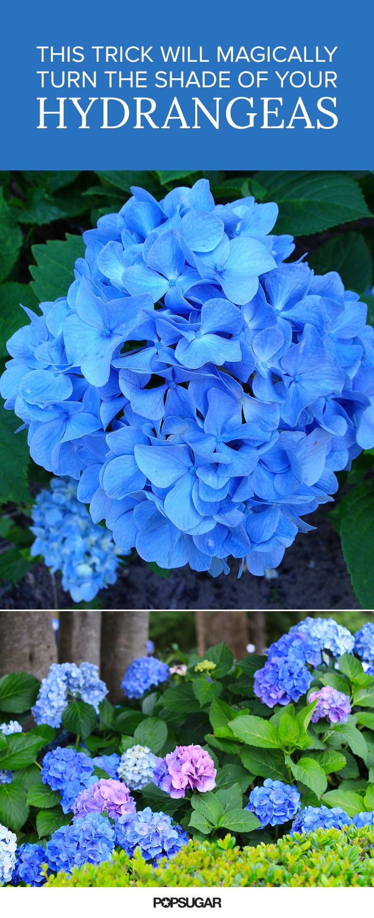 You can actually change the color of your hydrangeas — making them pink, blue, or ethereal shades of periwinkle — by following these simple steps
