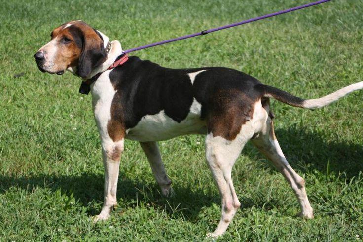 199 Best Treeing Walker Coonhound Images On Pinterest Treeing Walker Coonhound Bloodhound And