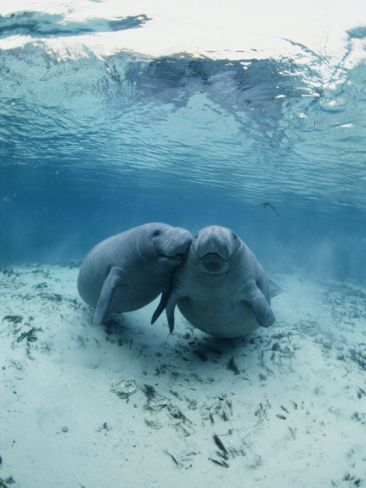 An Underwater Shot of a Pair of Florida Manatees Photographic Print by Brian J. Skerry at Art.com