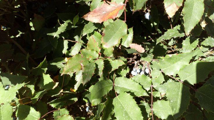 """Mahonia aquifolium """"Atropurpurea"""".  Detalle de la fructificación de la Mahonia aquifolium """"Atropurpurea"""".  Arbusto muy rústico perennifolio de unos 1,5 metros de altura.  Hojas coriáceas y espinosas que cambian de color en las zonas más frías.  Exposición soleada, semisombra o incluso sombra.  Riego frecuente sobre todo en verano, soporta todo tipo de suelos.  Muy utilizada en jardinería en ejemplares aislados, setos y macetas."""