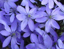 Heimisches Leberblümchen - blüht im Schatten, im März und April