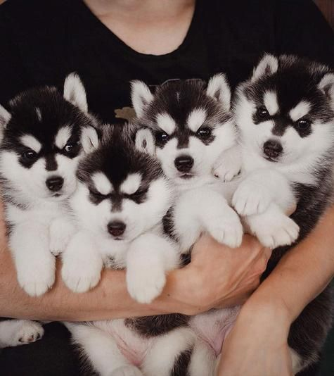 For anybody looking for an Instagram feed full of Siberian Husky puppies