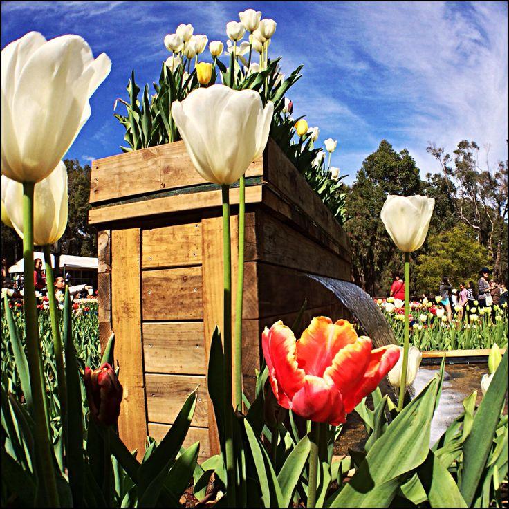 Tulips Spring @TeamWhites photo