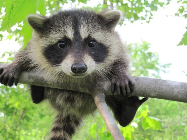 RacoonCritter, Animal Kingdom, The Face, Baby Racoon, Pets, Raccoons, Little Animal, Fur Baby, Furries Friends