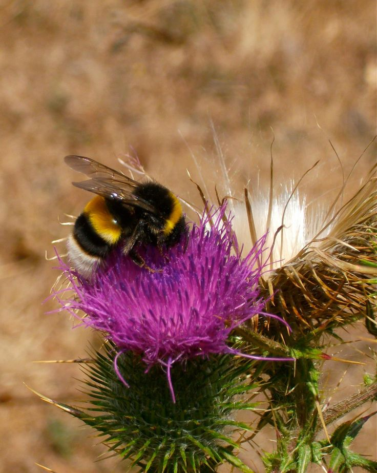 """Desde niña me han dicho que cuando estos bichos atacan, """"¡chita que duele!"""" y más que una chaqueta amarilla... pero cada vez que me topo con uno de ellos, se ven tan tranquilitos pululando entre flores... si ni pelean con las abejas!  Bah!! me gustan sus patitas de polen.  ---- © Claudia Mellado Ñancupil"""