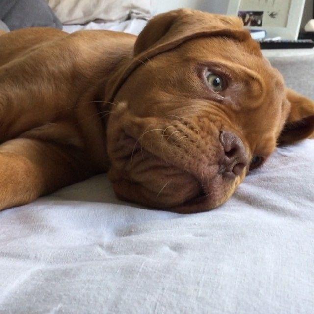Dogue de Bordeaux puppy!