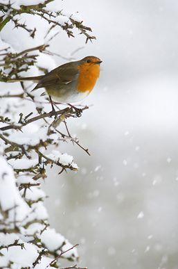 Image7_L[1]Fergus GILL Winter Robin