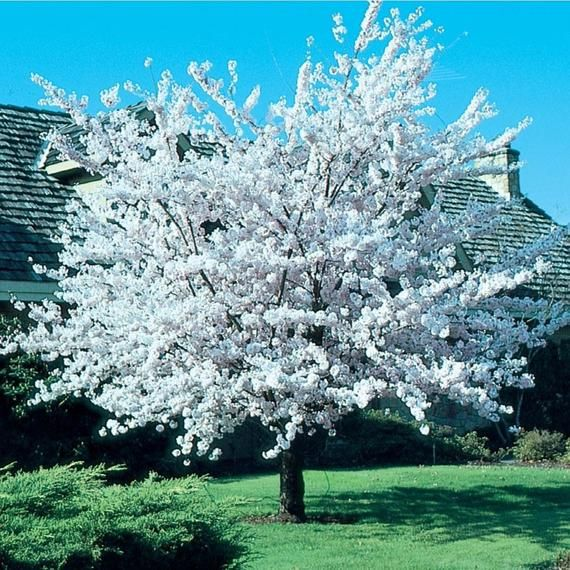 Autumnalis Cherry Tree 1 Gallon Potted Plant Pink Blossoms Etsy Flowering Trees Potted Trees White Flowering Trees