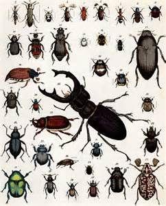Die wichtigsten natürlichen Feinde der Käfer sind Krankheitserreger (Viren, Bakterien, Einzeller, Pilze), Parasiten (Schlupfwespen, Raupenfliegen, Milben) und Fressfeinde (Vögel, Igel, Maulwürfe, Spitzmäuse, Fledermäuse, Reptilien, Spinnen, Fische, Amphibien sowie andere Käferarten).   Käfer werden vom Menschen nach ihrer Schädlichkeit und ihrem Nutzen eingeteilt. Kornkäfer und Reiskäfer können große Schäden an Getreidevorräten verursachen, während Kartoffelkäfer, Rapskäfer und Westliche…