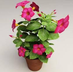 Dipladênia Já Com Flores E Botões ( Varias Cores)   R$30,00