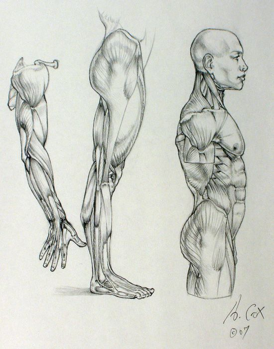 Anatomy 03 by ~andrewcox on deviantART