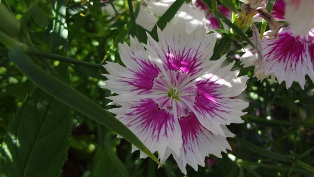 Dianthus, see what I mean?