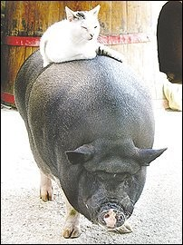 """""""his truffle-hunting days behind him, Jack, a 12-year-old Mexican pig poses with the house cat"""" (Wash. Post travel section, 11/21/2010) (My Two Favourite things!!)"""