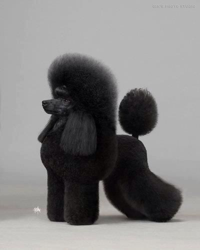 The Poodle, though often equated to the beauty with no brains, is exceptionally smart, active and excels in obedience training. The breed comes in three size varieties, which may contribute to why Poodle is one of the most popular breeds.
