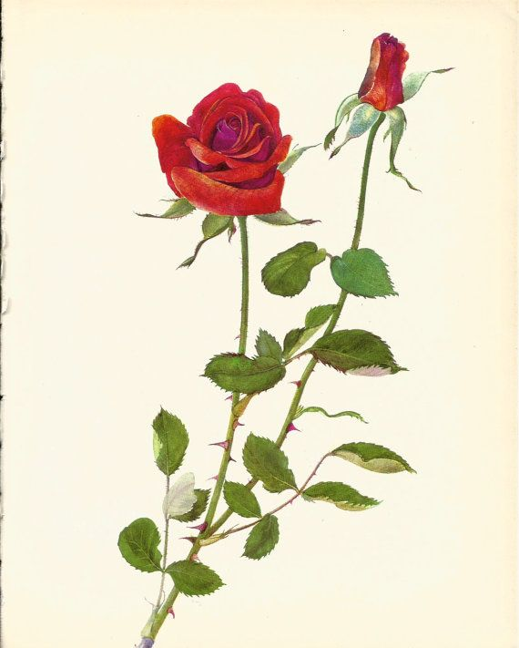 Use coupon code PINTEREST to save 10% off of your purchase! Gorgeous ANTIQUE ROSE ILLUSTRATION Red Rose by UpcycleFarmer
