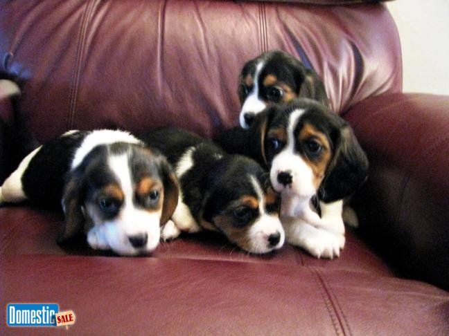 Adorable Designer Beaglier puppies for sale I have 3 adorable little boys and 1 little girl, ready to go August 1st. They are family raised, current on shots and de-wormed. They ...