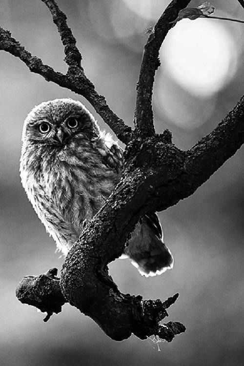 Owls is awesome #black & #white