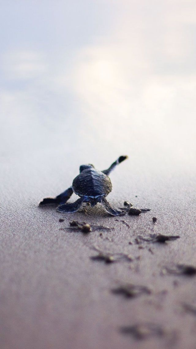 Baby Ocean Turtle struggling to get to the ocean to survive.