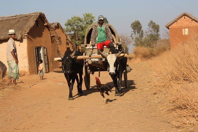 """Día 11: IFATY – TULÉAR - ANTANANARIVO  Traslado al aeropuerto de Tuléar para tomar el vuelo hacia la capital. Llegada a Antananarivo, los clientes son recibidos por el representante de la agencia. Visita del mercado de artesania en el Océano Índico. Luego visita de la capital """"la ciudad de los mil"""". Almuerzo libre."""