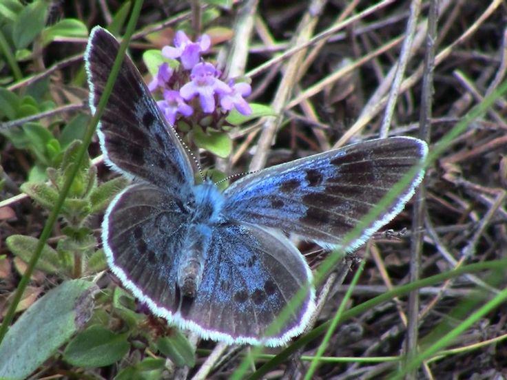 Large Blue 2, Vispa Valley, VS, 06.07.17