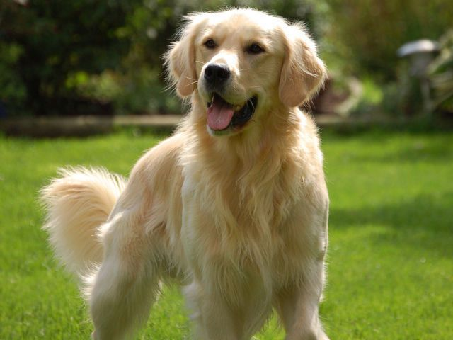 I Got Golden Retriever Which Dog Breed Do You Look Like You