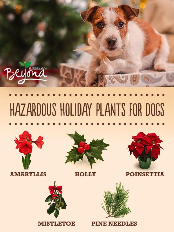 Think beyond the natural holiday décor and know what plants could be potentially harmful to your dogs.