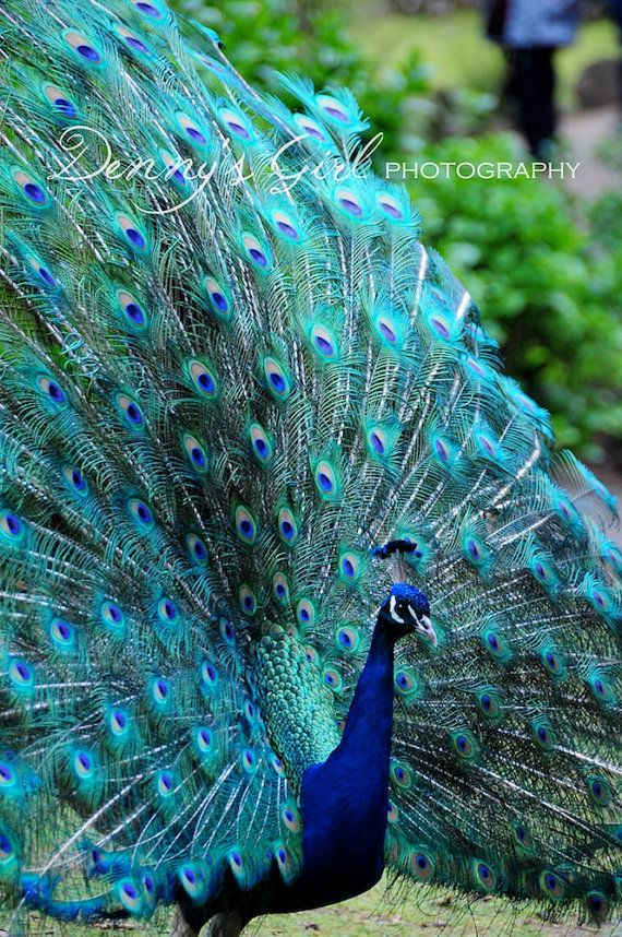Peacock Blue fine art print plumage display on Etsy, $6.92