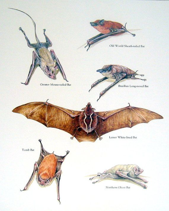 Greater Mouse Tailed Bat Old World Bat Tomb by mysunshinevintage