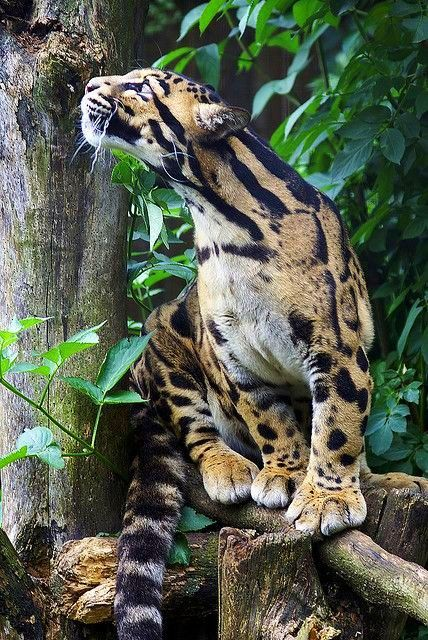 "Clouded Leopard ~ Miks' Pics ""Animals lV"" board @ www.pinterest.com…"