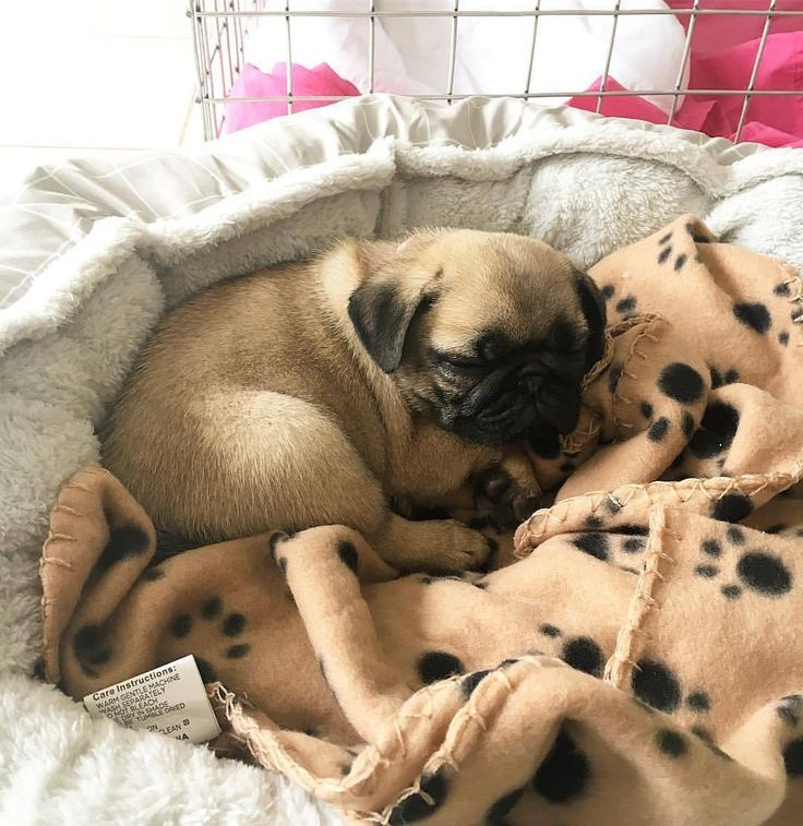 Pugs are my life❤️  All credit goes to the owners 💝 Tag if you know them 💝  #pugdaily #pugs #pug #cute #puglover