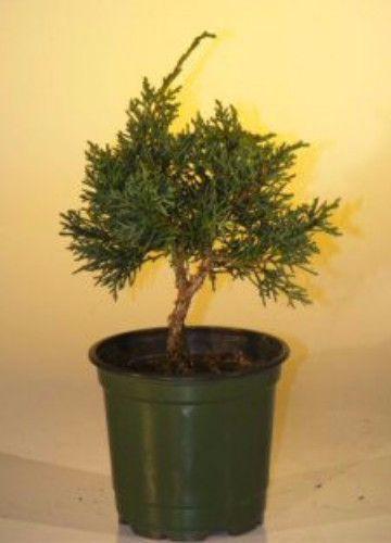 Pre Bonsai Shimpaku Bonsai Tree - Small(shimpaku itoigawa)
