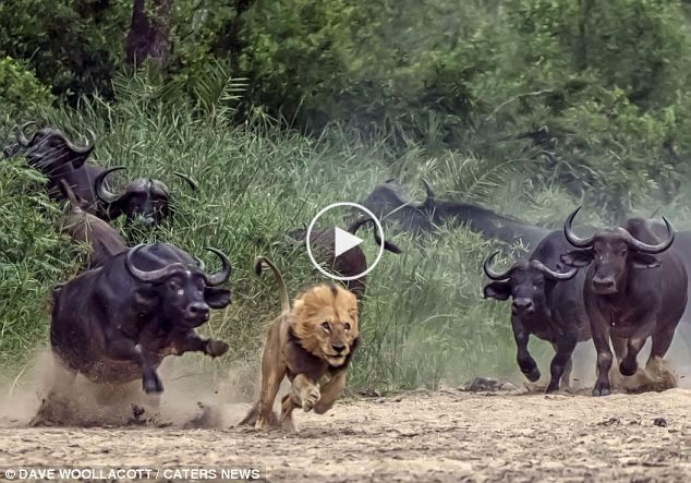 BUFFALO IS A REAL BEAST IN JUNGLE!!!! Watch how group of Buffalo chase, catch and kill Lion live on camera