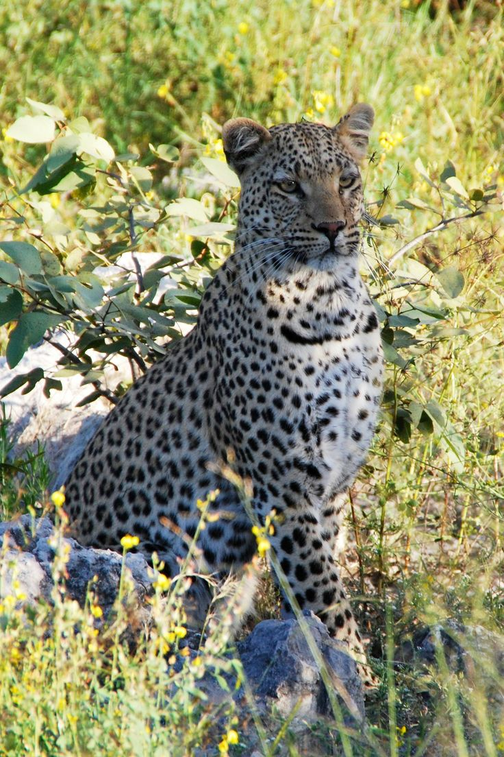 A leopard's spots are called rosettes because they resemble roses.