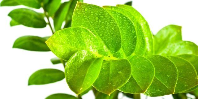Sedm chyb kter d l te p i p stov n zamiokulkasu izbov rastliny pinterest flowers - Hardy office plants ...