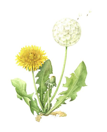 How To Draw A Dandelion   The Society of Botanical Artists. Margaret Brooker SBA member gallery.