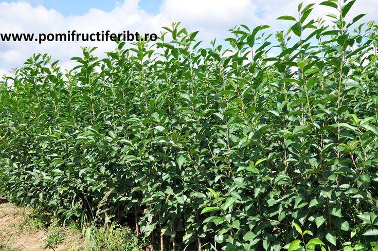Pomi fructiferi, Vita de vie - Botosani