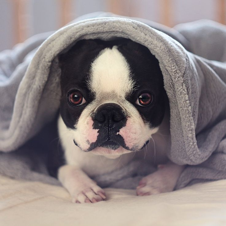 Meet Charlie the Boston Terrier, he's basically the Leonardo DiCaprio of the dog world. We received these photos from Charlie's mom, Lisa, and were blown away! What a handsome little gu…