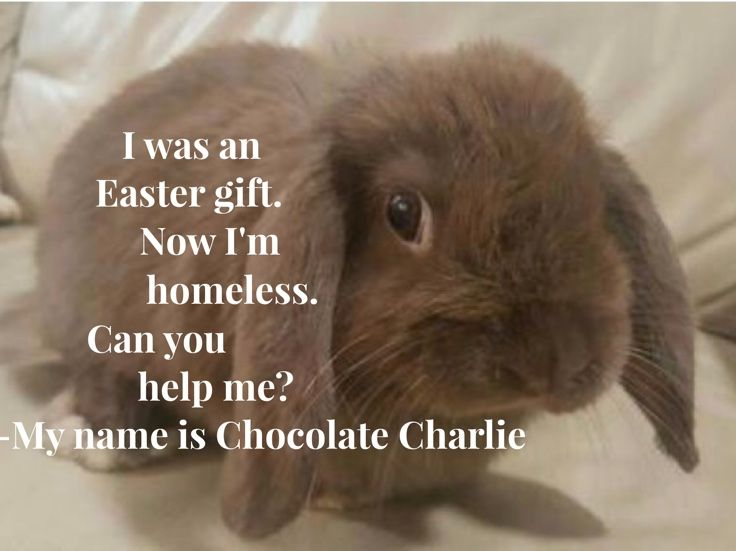 Chocolate Charlie dumped after Easter needs a home. Apply on www.rabbitsanctuary.com.au