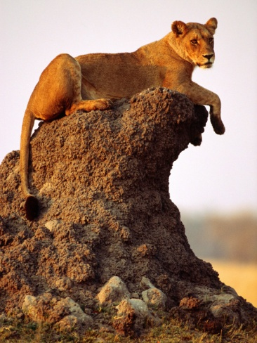 Lioness (Panthera Leo) Watching Surroundings from Termite Mound - Photographer Andrew Parkinson