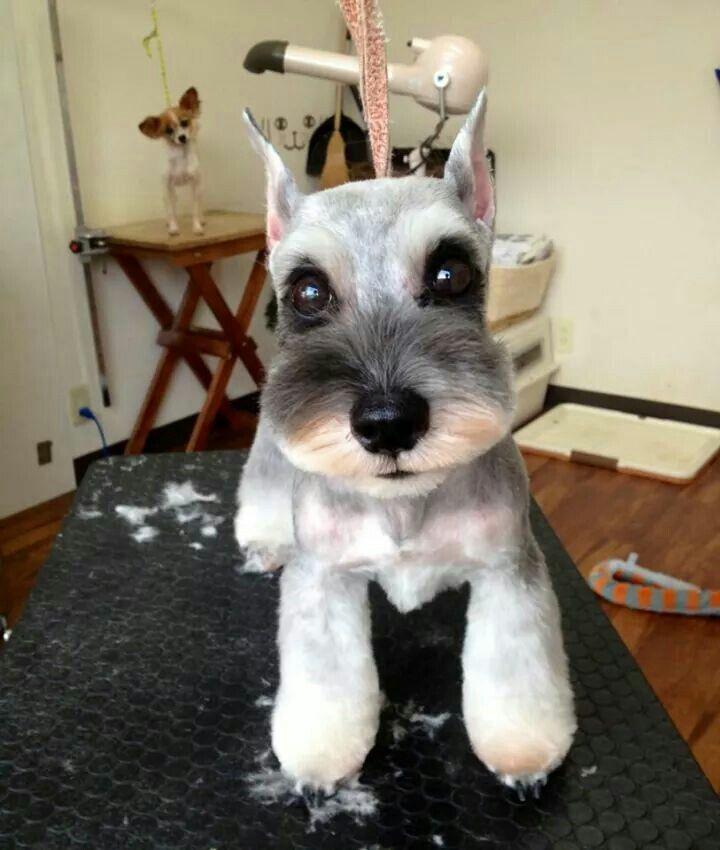 Japanese style dog grooming Schnauzer.
