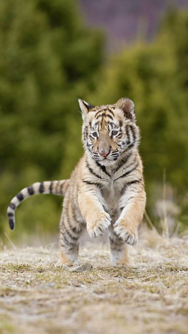 Best 25+ Baby tigers ideas on Pinterest | Tiger cub, Tiger ... Baby Tigers Sleeping