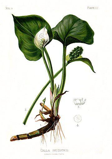 Calla palustris