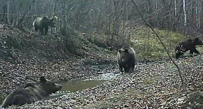 IMAGINI RARE: O familie de urși care se bălăcesc și un lup singuratic, filmați într-o pădure din Covasna VIDEO