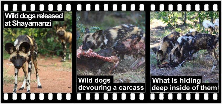 SHAYAMANZI Wild dogs - February 2015 Wildland Article