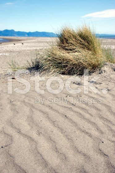 Sand Dunes and Tussock, New Zealand Beachscape royalty-free stock photo