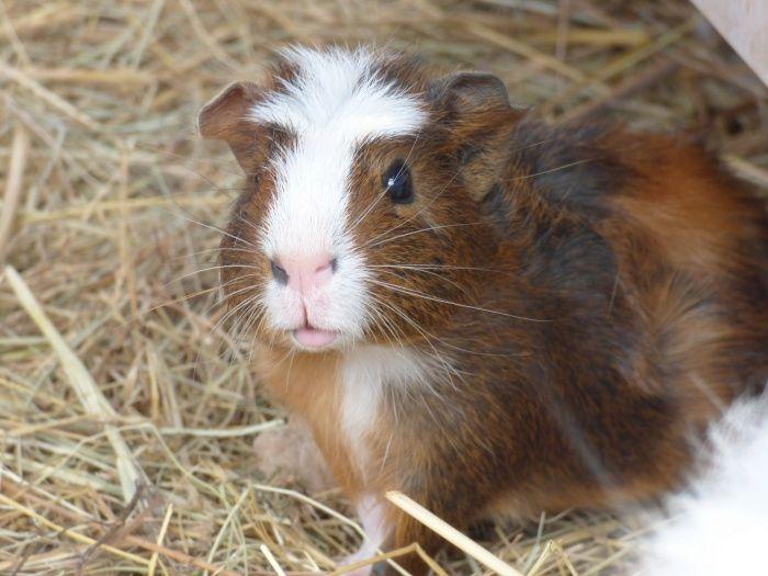 Sphinx cochon d'inde mâle coronet poil lisse