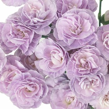 FiftyFlowers.com - Moonpearl Lavender Mini Carnation Flowers