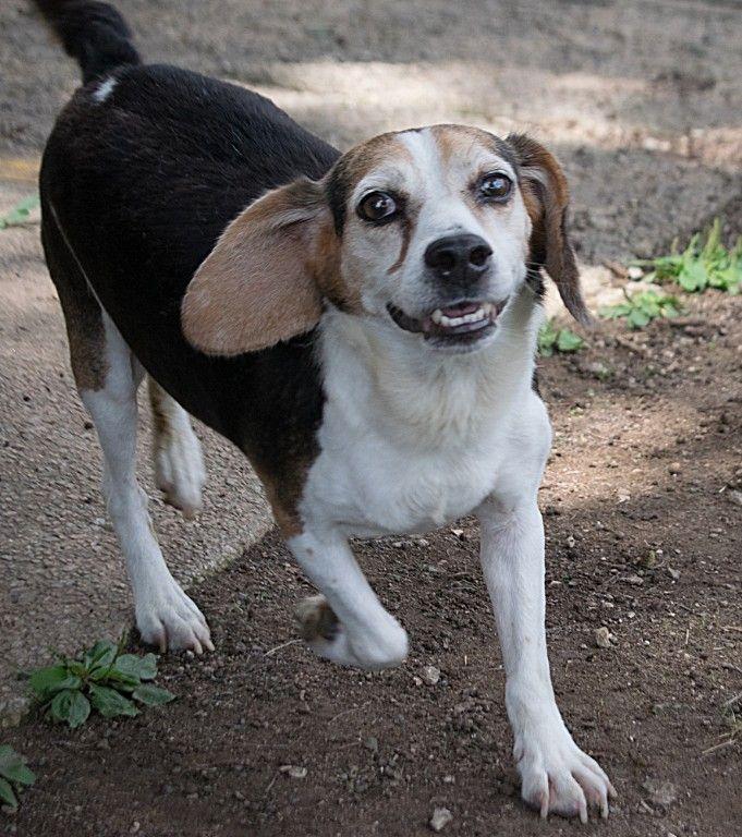 Beagle dog for Adoption in Oxford, NC. ADN-653407 on PuppyFinder.com Gender: Male. Age: